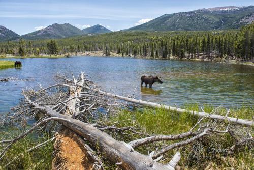 2 moose in lake 18x12