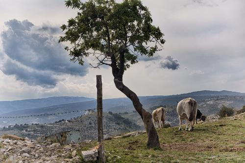 Cattle on a hill, Puglia 12x