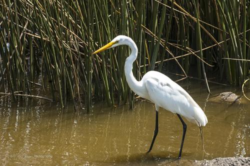 Egret Lake Martin, Louisiana. 12x
