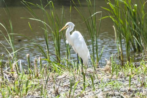 Egret Lake Martin, Louisiana
