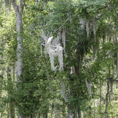 Egret in tree, Louisiana 12z
