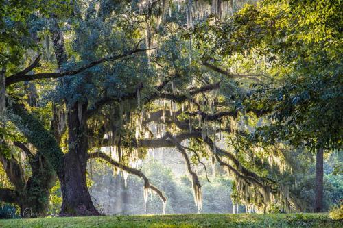 Live oaks on Evergreen Plantation 12x18