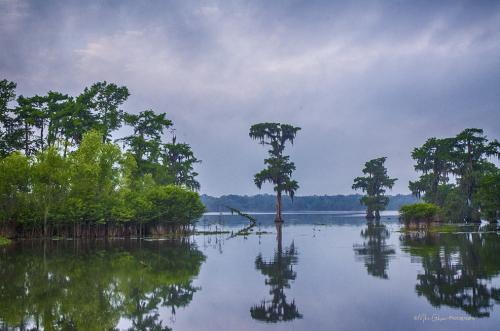 Lone Cyprus, Lake Martin, Louisiana 12x