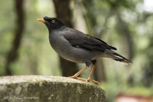 Minor Bird 12x