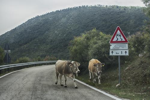Two Cows on the Road, Puglia 12x