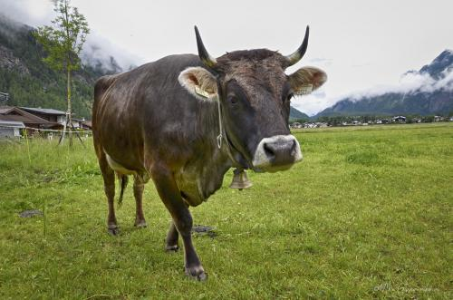 Tyrolean cow 12x