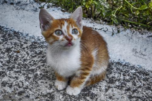 corfu kitten 12x