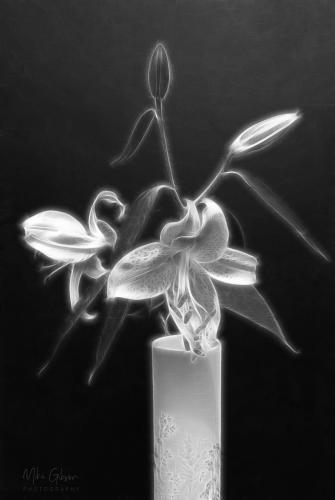 lily stargazer fractal