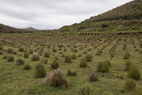 Antisana grass