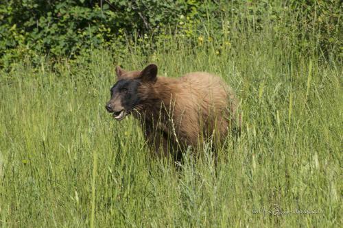 Glacier National Park Bear cub 1